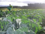 無農薬キャベツ収穫